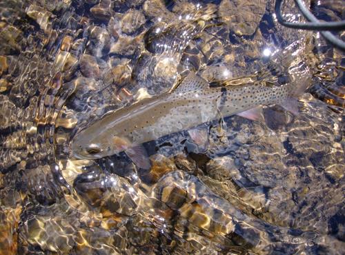 Cutthroat Trout Fall Creek