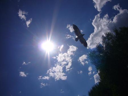 Golden Eagle on the Snake River